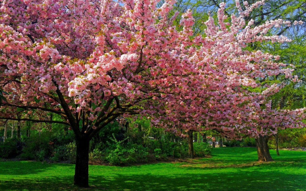 landscape-nature-cherry-blossom-trees-lawns-park-flowers-spring-pink-green-2500x1563